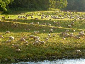 Schafe im Auewald (Symbolbild, nicht Wolfs Herde)
